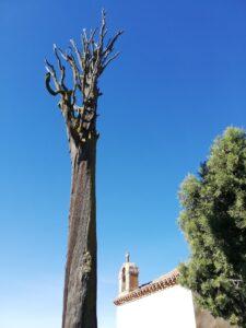 Árbol donde predicaba San Juan de la Cruz